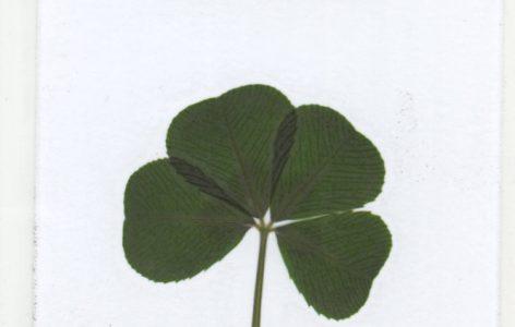 four leaf clover Irish soil laminated card